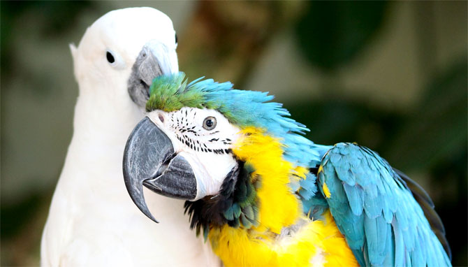 PERNATI PAMETNJAKOVIĆI: Upoznajte 5 najinteligentnijih ptičijih vrsta!