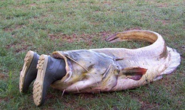 Prespansko jezero: Uhvaćen som od 95 kilograma