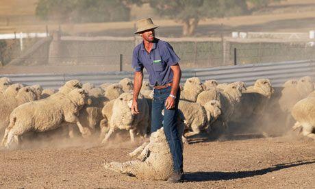 Australija: Zbog talasa vrućine farmeri prinuđeni da ubijaju stoku