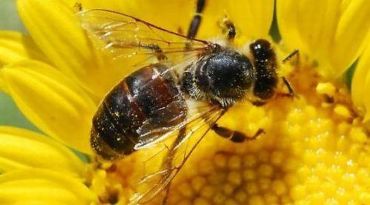 Topla zima opasna za pčelarstvo
