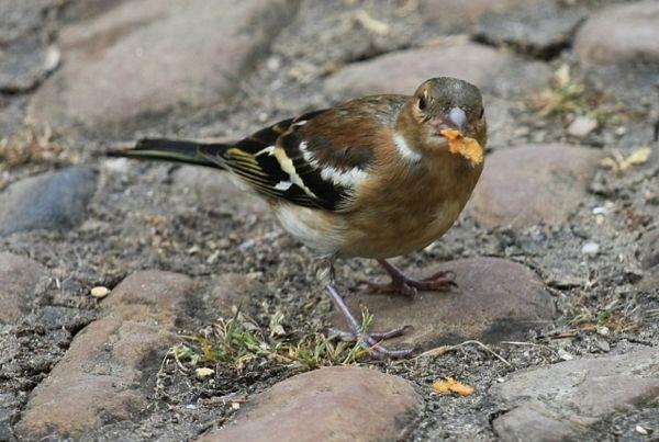 Ptice u Sibiru pijane zbog tople zime