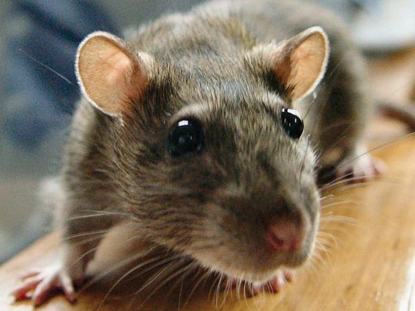 Banjaluka: Građani u strahu od pacova