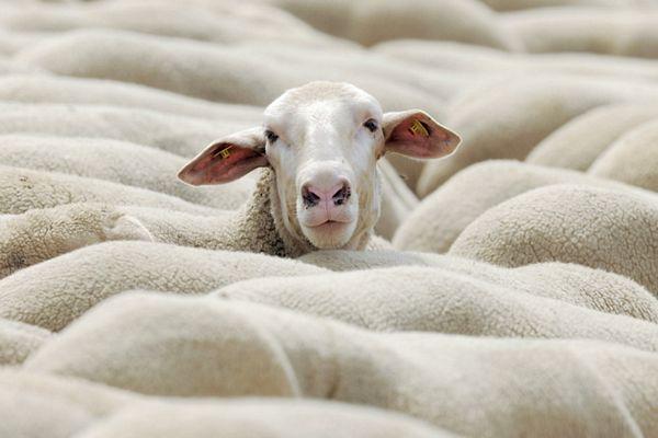 Srbija: Na svaka četiri stanovnika dođe po jedna ovca