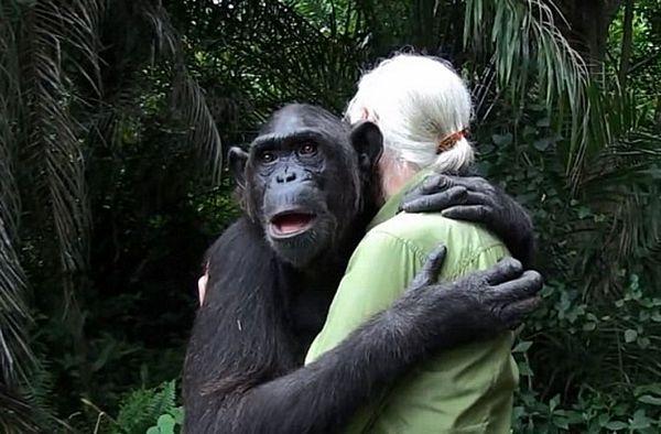 """""""Hvala ti za sve"""": Pogledajte kako se šimpanza zahvalila svojim spasiocima! (VIDEO)"""