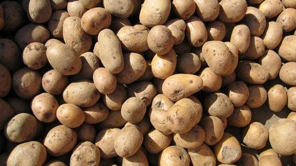 Zaraženi krompir vraćen sa granice BiH