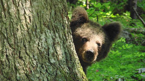 Medvjed uništio pčelinjak u Poniru