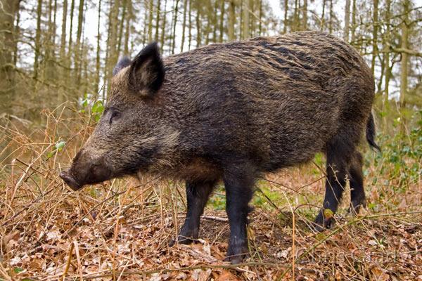 Najezda divljih svinja na području Novog Grada