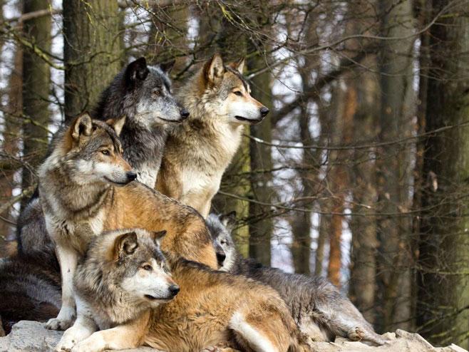 Slovenac tuži vukove Evropskom sudu