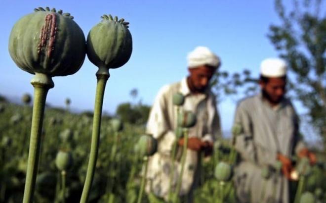 Amerikanci šokirani nivoom uzgoja opijumskog maka u Avganistanu
