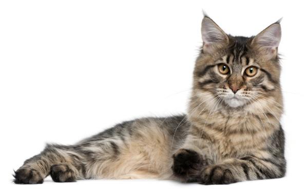 Britanskom parlamentu potrebne mačke u borbi protiv miševa