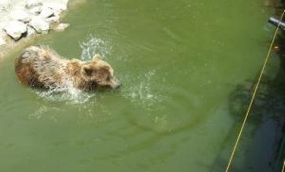 I njemu je vruće: Medvjed se brčkao u Ohridskom jezeru među kupačima