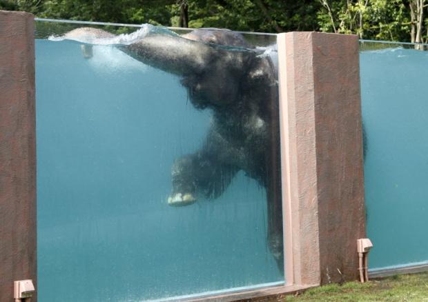 Japanci napravili bazen za slonove  (VIDEO)