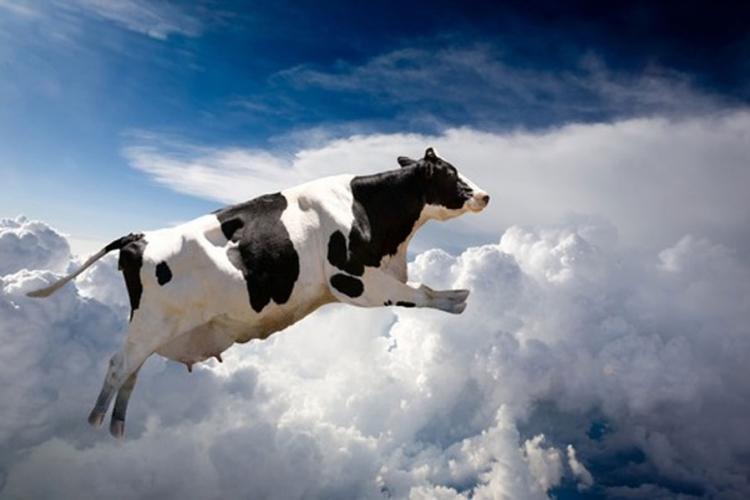 Bizarno: Krava pala s neba na automobil