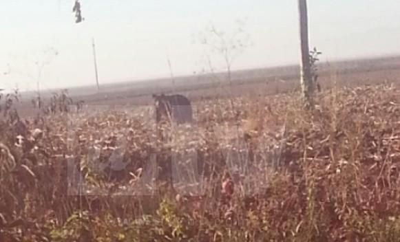 Medvjed u Lijevču kraj Banjaluke, čeka lovce da ga otjeraju!