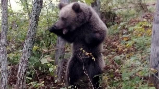 Lijevčanski medvjed pojeo ovcu u Riječanima, sad ga tjeraju prema Manjači