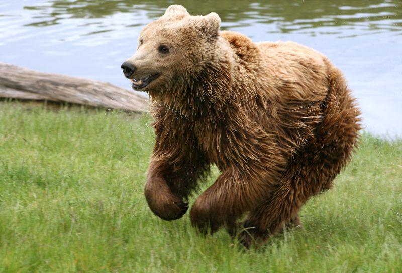 Naš komšija sa crvene liste: Priča o mrkom medvjedu