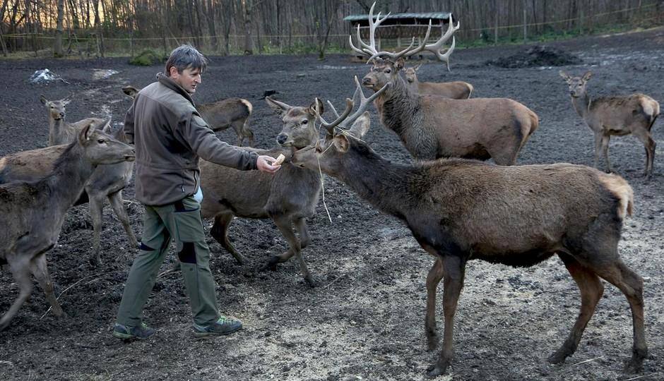 Kod Ključa uzgaja alpske jelene (FOTO)