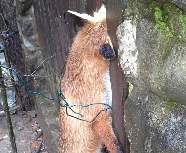 Saračica – Banja Luka: Nesrećna lisica se udavila na ogradi (FOTO)