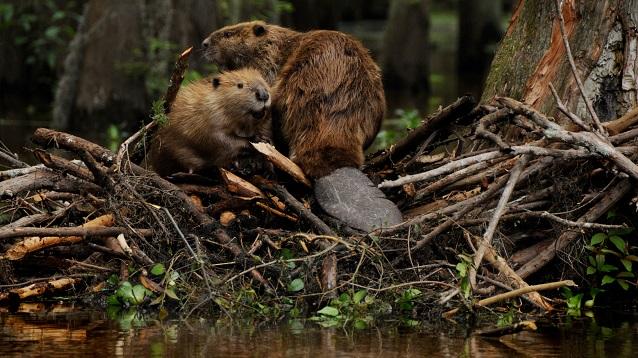 Lijepa vijest stiže iz prirode: Dabrovi se vratili na naše rijeke (FOTO)