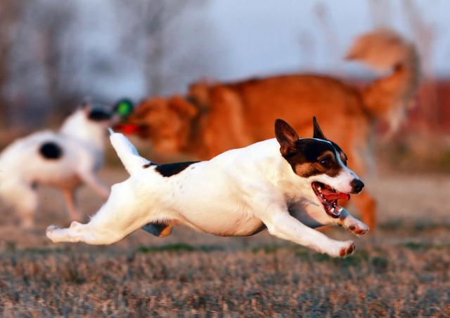 Koji psi su najagresivniji