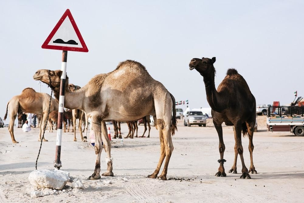Postani Miss kamila i zaradi 14 miliona dolara (FOTO)