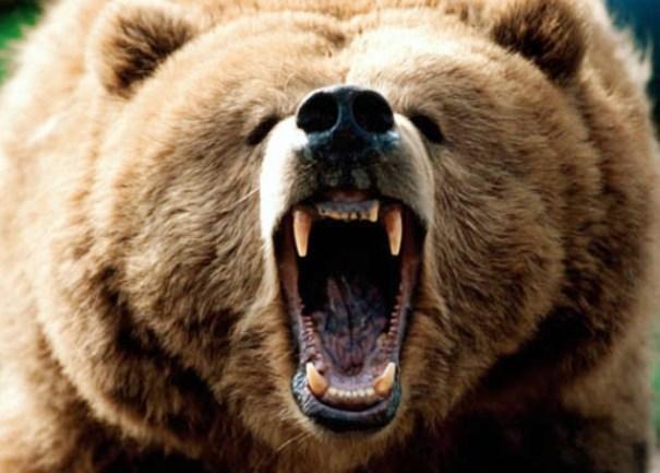Medvjed provalio u tor sa ovcama