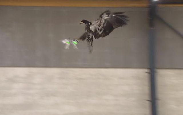 Policija trenira orlove da hvataju dronove