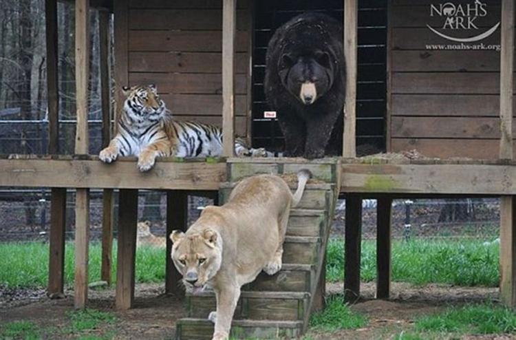 Lav tigar i medo 2