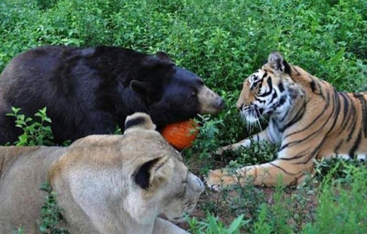 Lav, tigar i medvjed nerazdvojni prijatelji (FOTO)