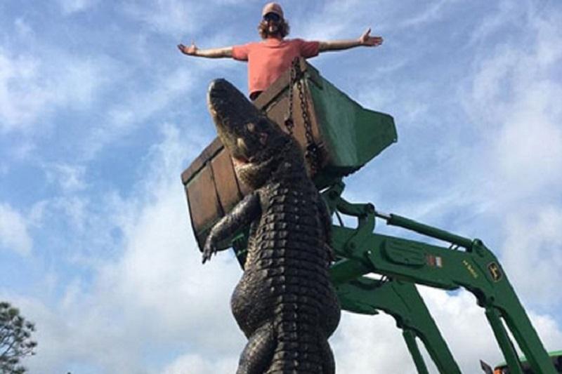 Uhvatili aligatora teškog 360 kg, jeo krave farmerima