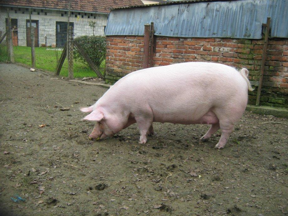 Kako svinje mogu spasiti ljude?