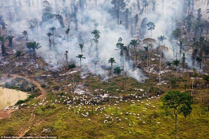 4. Prašuma u plamenu – koze koriste livadu pored za ispašu.