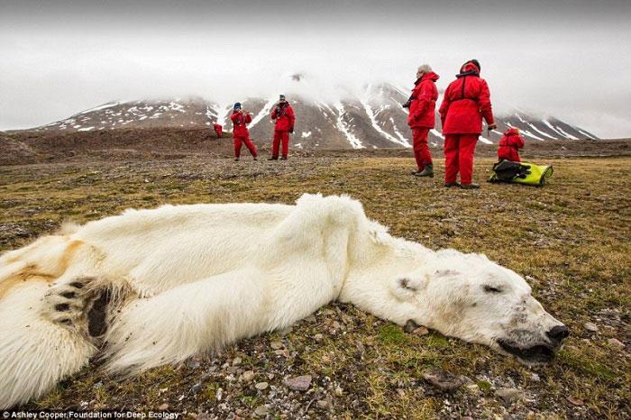 17. Ovaj polarni medvjed je uginuo od gladi u Svalvard – u, u Norveškoj.