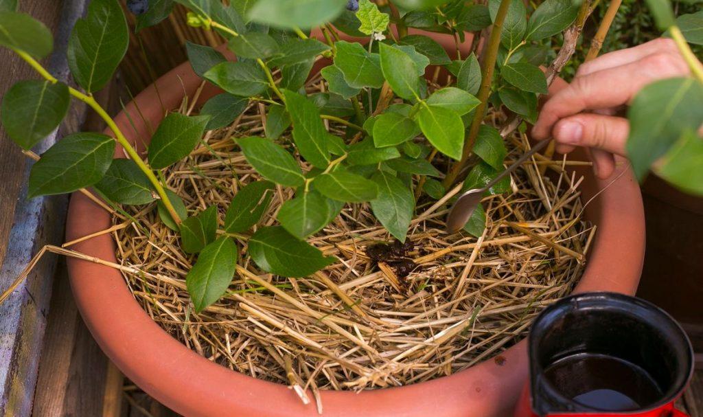 biljke kafa