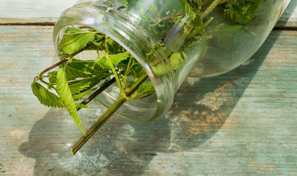 biljke kopriva
