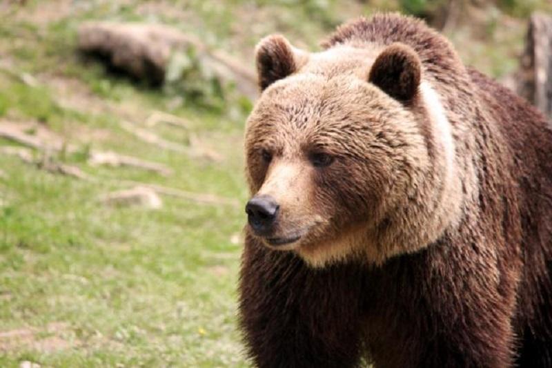 Medvjed provalio u auto i zaključao se u njemu (VIDEO)
