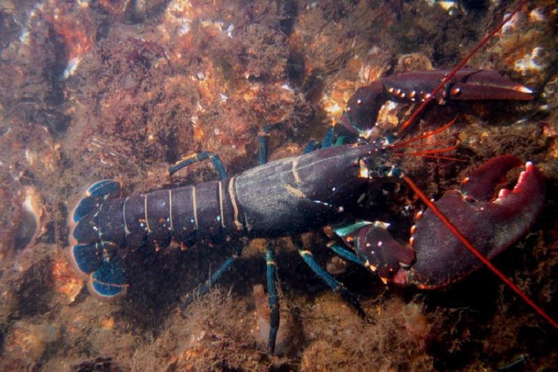 Uhvaćen džinovski jastog na obali Bermuda (FOTO)