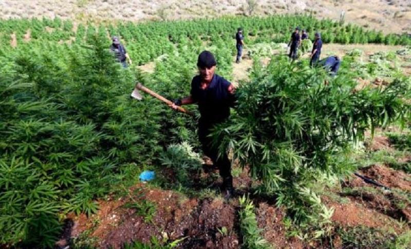 Albanci uništili preko 2,4 miliona biljki kanabisa