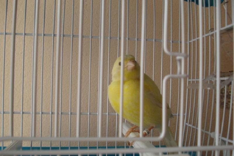 Banjalučanin ukrao kavez sa dva kanarinca
