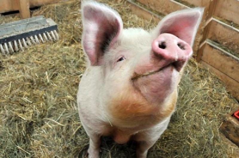 Svinje mogu biti pesimistične poput ljudi