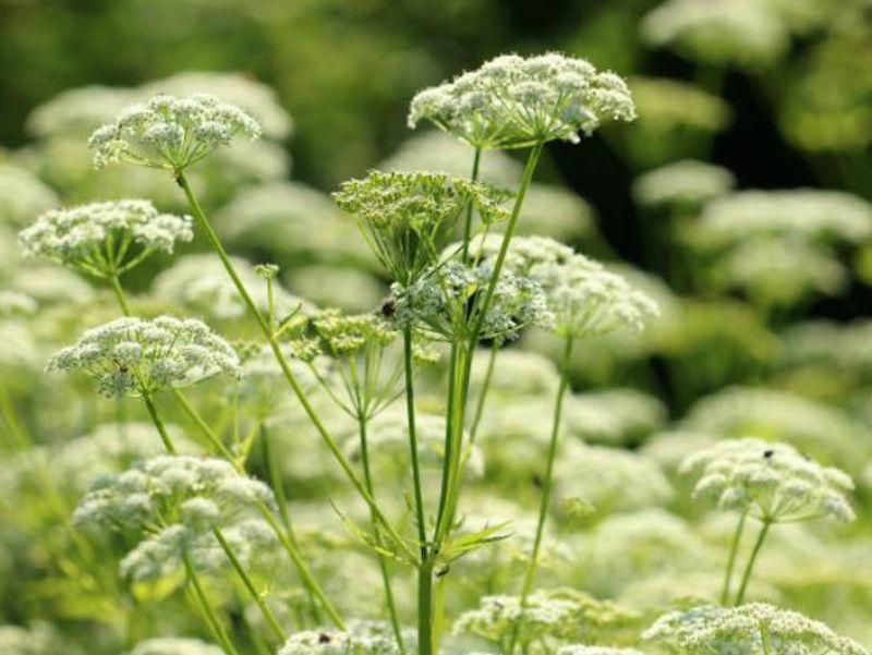 Biljka koja izgleda neobično, ali liječi efikasno