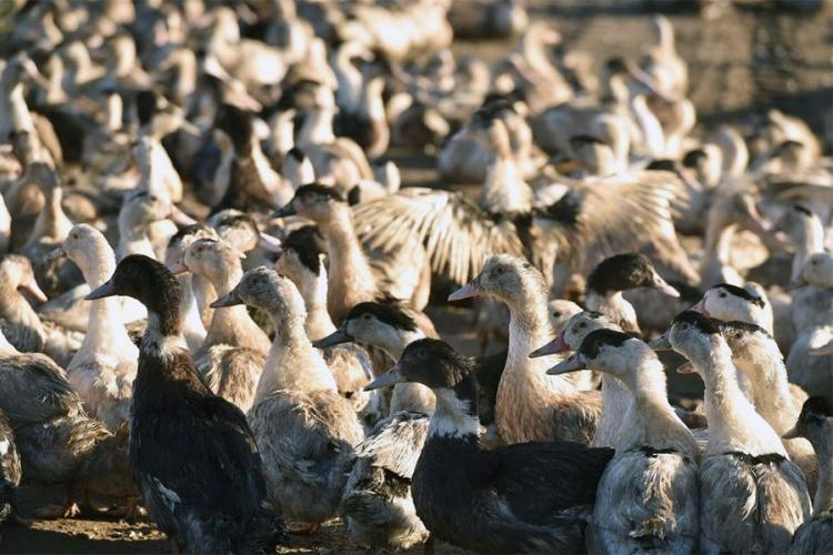 U Španiji pronađen veoma zarazan virus ptičijeg gripa H5N8