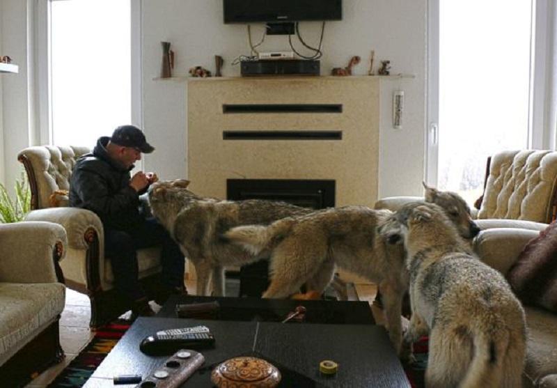 Porodica živi s vukovima: Za poklonjenu ljubav uzvraćaju još više