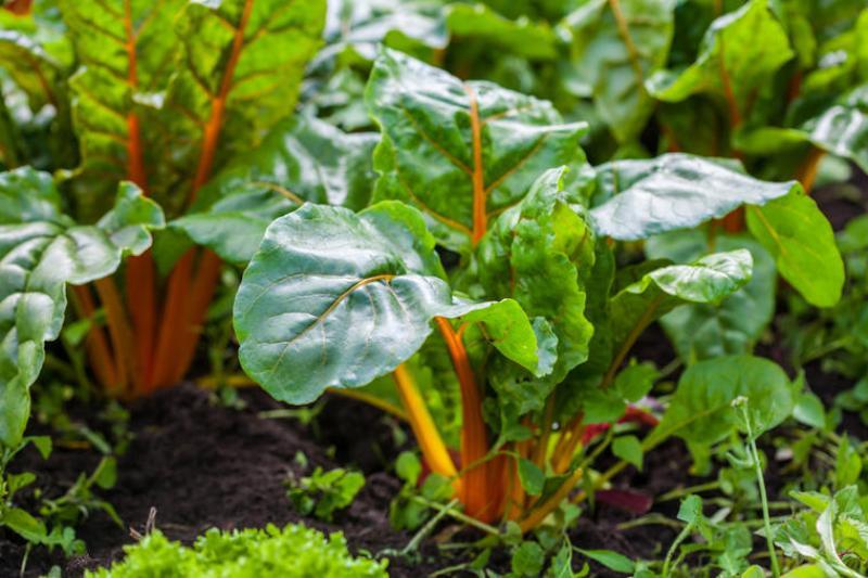 Blitva – jedna od najzdravijih vrsta lisnatog povrća