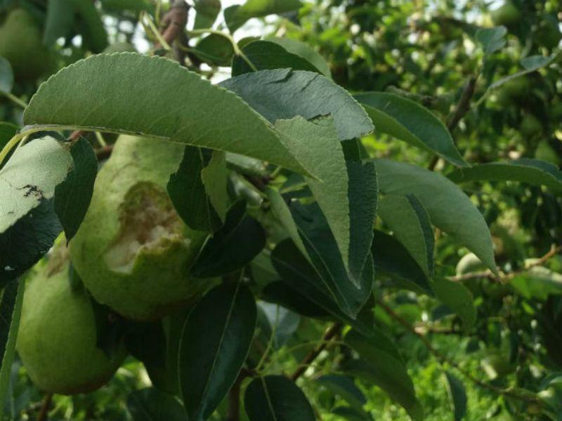 U nevremenu stradali voćnjaci (FOTO)
