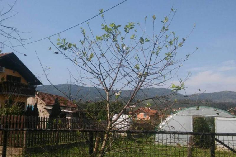 Vremenske prilike zbunile voćke: U Debeljacima procvjetala višnja