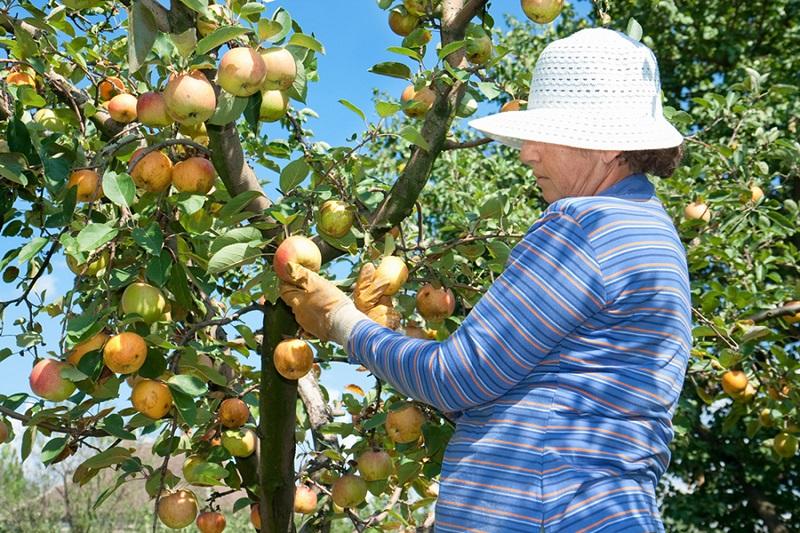 Apsurd: Inženjeri beru jabuke, dokoni sjede, a voćari se hvataju za glavu