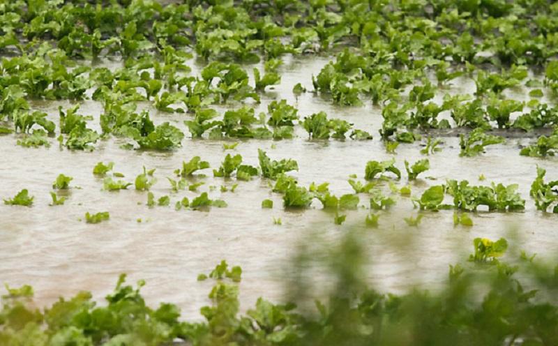 Lisnato povrće sa poplavljenih njiva opasno po zdravlje