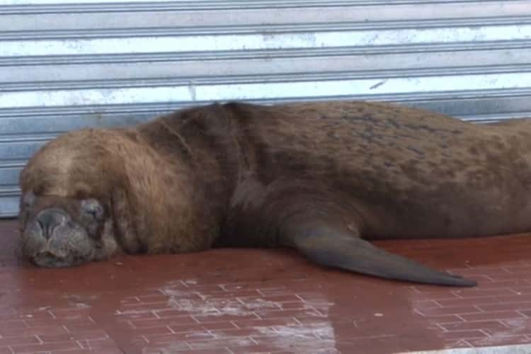 Morski lavovi na ulicama argentinske luke