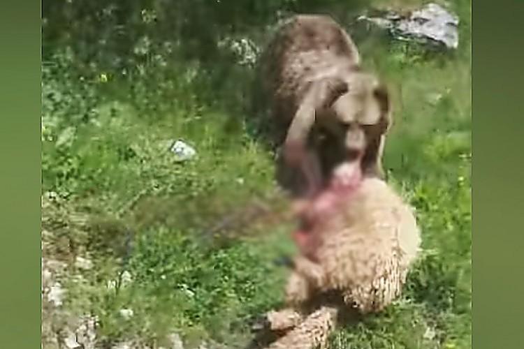 Medvjedica napala stado ovaca na Vlašiću (VIDEO)